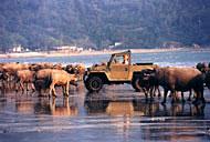 Keith conduciendo el Land Rover Lightweight en la playa de Pui O(Dan Groshong)